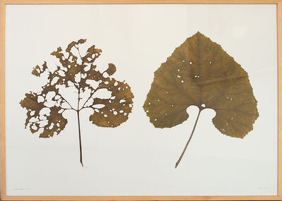 herman de vries, 'from the same plant, collected boehlgrund august 2000', 2000