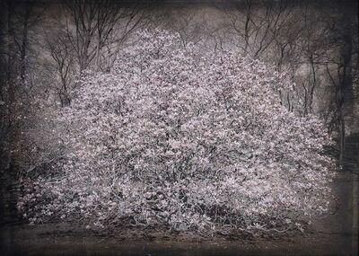 Kate Breakey, 'Magnolia, NYC Botanical Garden'