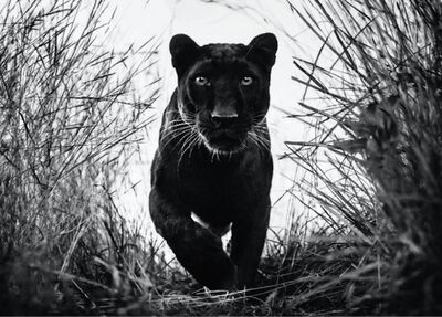 David Yarrow, 'Black Panther ', 2018