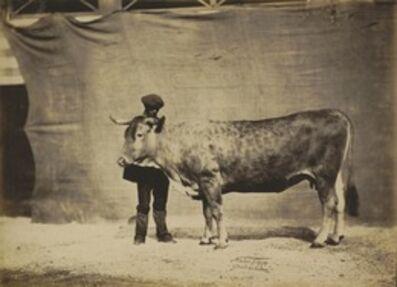 Adrien Tournachon, 'Vache Garonnaise, agée de 5 à 6 ans', 1856