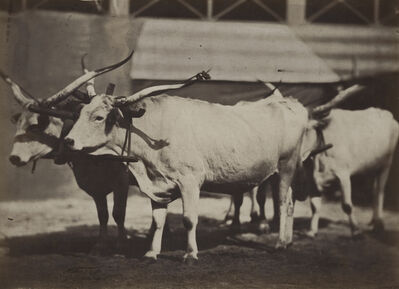 Adrien Tournachon, 'Long Horn Steers', 1850s/1850s