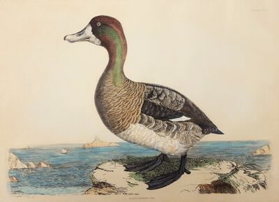 Prideaux John Selby, 'Scaup Pochard, Female', ca. 1880