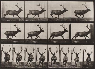 Eadweard Muybridge, 'Plate 695, Animal Locomotion: Elk galloping', 1872-1885 / printed 1887