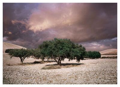 Bernhard Quade, 'Olive Trees, Sicily, Italy', 2008