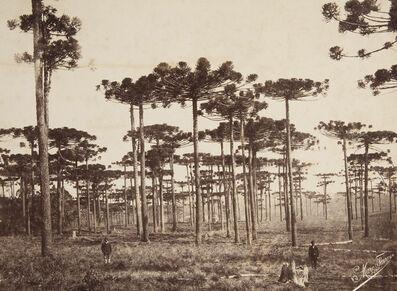 Marc Ferrez, 'Giant Pines, Paraná State', 1879