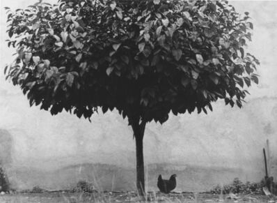 Edouard Boubat, 'L'Arbre et la Poule', 1950