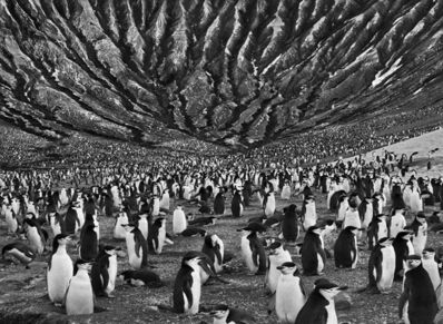 Sebastião Salgado, 'Genesis: Colony of Chinstrap and Macaroni Penguins with Mount Michael an Active Volcano Behind, Saunders Island, South Sandwich Island', 2009