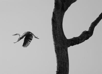 Sebastião Salgado, 'The garca moura, or Cocoi heron, Pantanal, Mato Grosso do Sul, Brazil', 2011