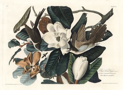 John James Audubon, 'Black-Billed Cookoo.  Coccyzus Erythrophthalmus.  Plate 32.', 1827-1838