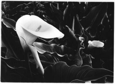 Kay Kenny, 'Calla Lilly', 2000