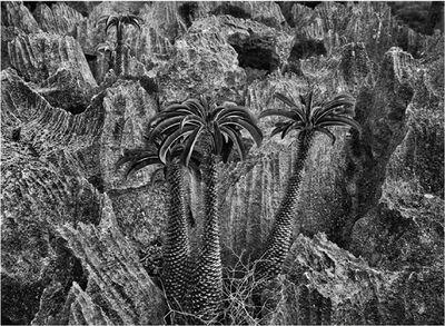 Sebastião Salgado, 'Madagascar palm, Tsingy of Bemaraha National Park, Madagascar', 2010