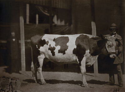 Adrien Tournachon, 'Kuh von der Race in der Normandie (Cow with Man)', 1850s/1850s