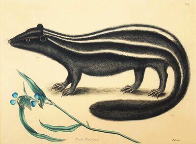 Mark Catesby, 'Putorius & Pseudo Phalangium (The Pole-Cat) (Skunk)', ca. 1800