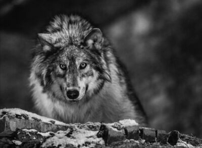 David Yarrow, 'I Am Alpha', ca. 2017