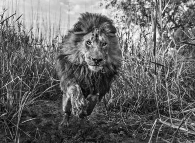 David Yarrow, 'Gold', 2015