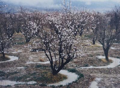 Samuel Laurence Cunnane, 'Walnut Trees', 2017