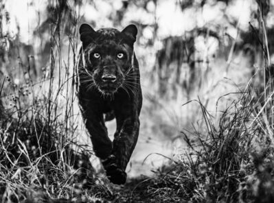 David Yarrow, 'The Black Panther Returns', 2019