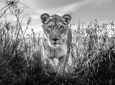 David Yarrow, 'The Hunter', 2020