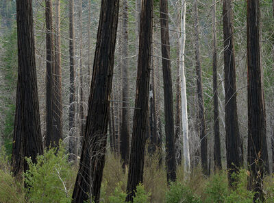 David G. Peterson, 'White tree, fire-scarred trunks, Yosemite National Park', 2011