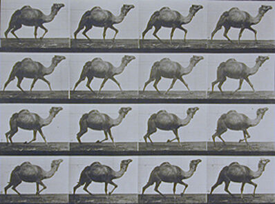 Eadweard Muybridge, 'Plate 736. Egyptian camel; racking.', 1887
