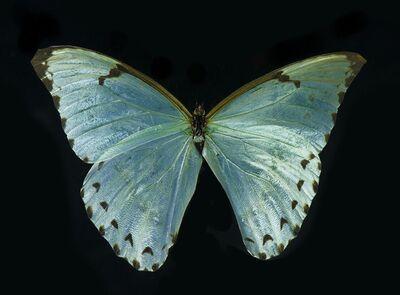 Allan Forsyth, 'Tranquilizer (Butterfly) Lenticular', 2014