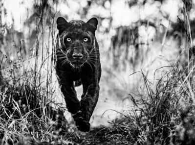 David Yarrow, 'Black Panther Returns', 2019