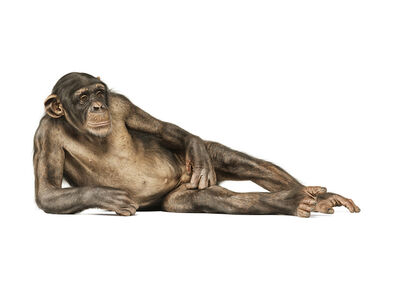 Andrew Zuckerman, 'Common Chimpanzee 216', 2007