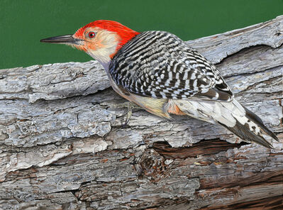 Rick Pas, 'Red-bellied Woodpecker Study', 2016