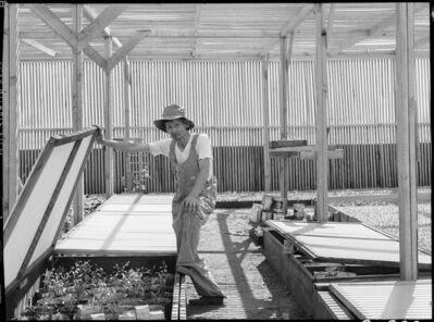 Dorothea Lange, 'Tending Guayule Plants, Manzanar', 1942