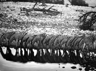 Sebastião Salgado, 'Mountain Zebra [they are confined to hilly country]', 2005