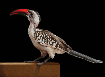 Patricia Traub, 'Red-Billed Hornbill', 2021