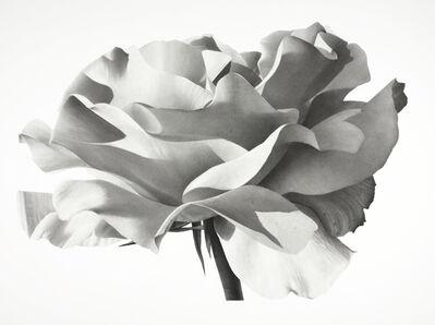 Jonathan Delafield Cook, 'Rose IV', 2021