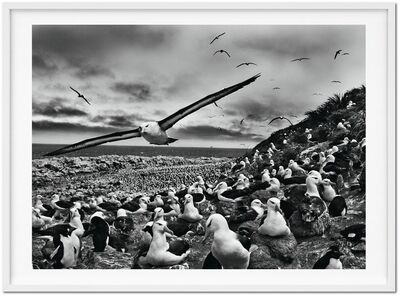 Sebastião Salgado, 'GENESIS, 'Black-Browed Albatrosses, Falkland Islands'', 2009