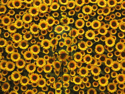 Liu Bolin, 'Hiding in the City - Sunflower', 2012