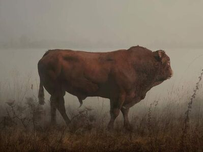 Rory Carnegie, 'Hamish, red angus bull', 2016