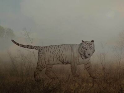 Rory Carnegie, 'Angelo, siberian tiger', 2016