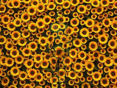 Liu Bolin, 'Hiding in the City — Sunflower', 2012