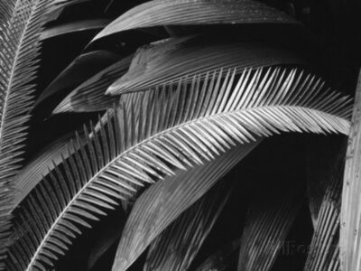 Brett Weston, 'Palms, Bronx Botanical Garden, New York', 1945-printed 1980
