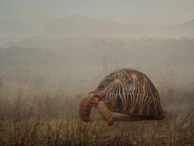 Rory Carnegie, 'Leonardo, radiated tortoise', 2016