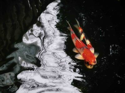 Xiao Ge 萧戈, ' Jin Li (Carpes Koi) No.8 ', 2020