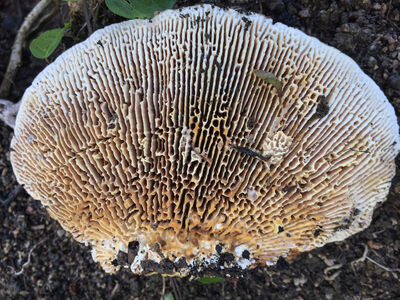Onajide Shabaka, 'Mushroom gills ', 2017
