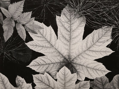 Ansel Adams, 'Leaf, Glacier Bay', 1948