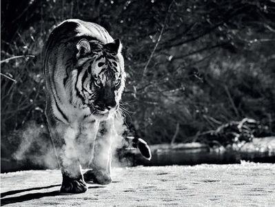 David Yarrow, 'Eye Of The Tiger', 2015