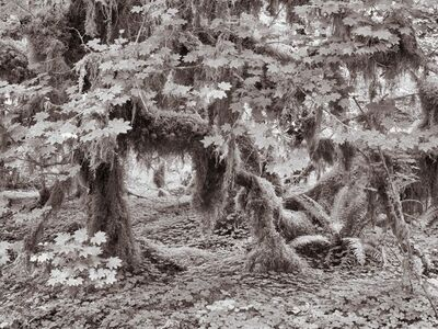 Lee Backer, 'Luxuriant Growth, Hoh Rainforest, Washington'