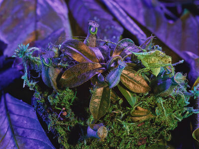 Richard Mosse, 'Katydid with Nepenthes', 2019
