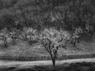 Ansel Adams, 'Oak Tree, Rain, Sonoma County, CA', 1960