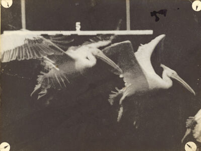 Étienne-Jules Marey, 'Flight of the Pelican', 1887/1887-89