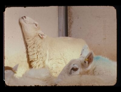 Nashashibi/Skaer, 'Lamb', 2009