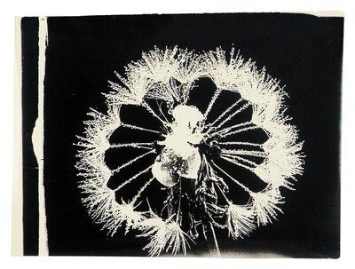Wilson A. Bentley, 'Dandelion', 1885-1931