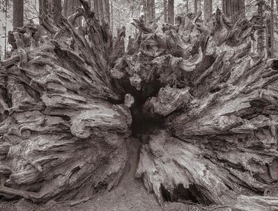 Lee Backer, 'Fallen Redwood, Humboldt, California'